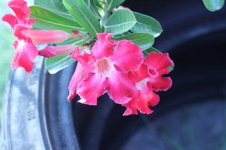 impala: Desert Rose, Impala Lily, Mock Azalea, beauty flowers in Thailand