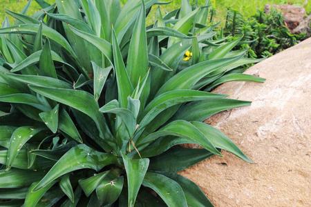 Aechmea fasciata, planted near the brown stones in the park Stock Photo