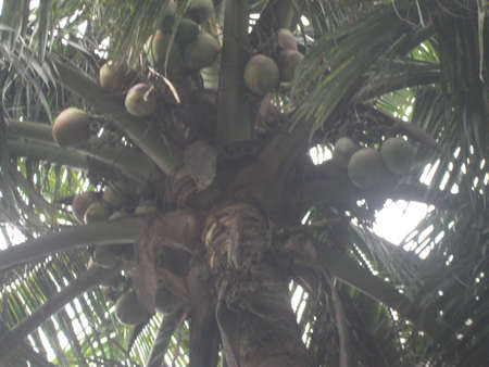 asia pacific: Coconut water has long been a popular drink in the tropics, specially in India,Brazilian Cost, Southeast Asia , Pacific Islands and the Caribbeans, where it is available fresh, canned or bottled