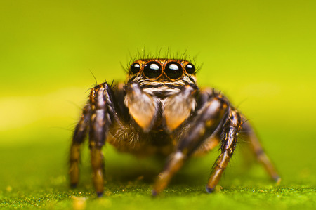 evarcha: Female of spider-jumper (Evarcha Arcuata)