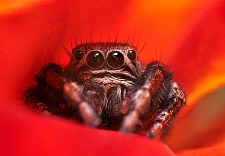 evarcha: Male of spider-jumper (Evarcha Arcuata) Stock Photo