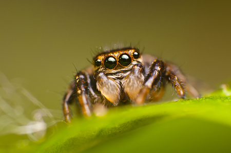 evarcha: Small female of spider-jumper (Evarcha Arcuata)