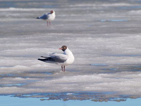 Hooded seagull resting on the melting ice on the sea at spring
