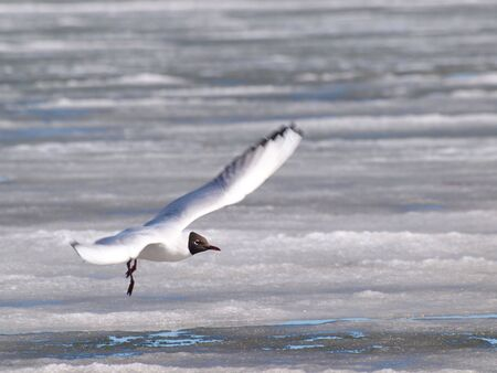 Hooded seagull taking off from the icey water at spring Stock Photo