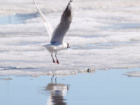 icey: Hooded seagull taking off from the icey water at spring Stock Photo