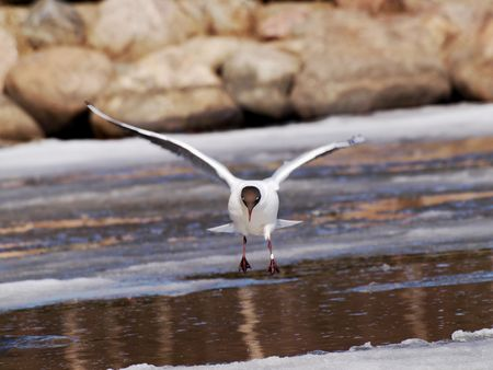 icey: Hooded seagull landing on icey water at spring, angle a bit off on purpose to change the perspective a little