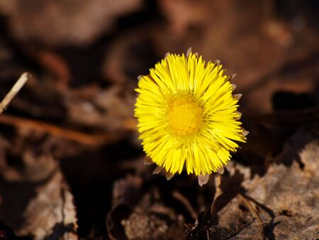 Coltsfoot in the spring, breaking through the dead leaves on the forest floor