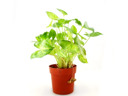 Fresh green plant in a red pot, towards white background