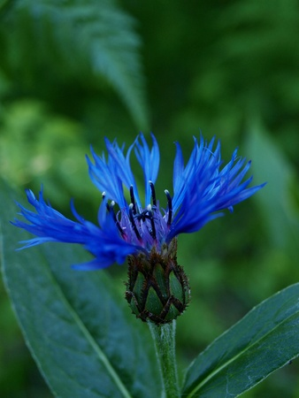 Fresh blue cornflower, standing tall, isolated towards dark green background photo
