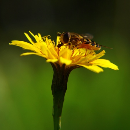 Bee on yellow flower. feasting on pollen, at summer photo