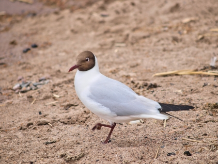 Hooded gull searching for food at the beach Stock Photo