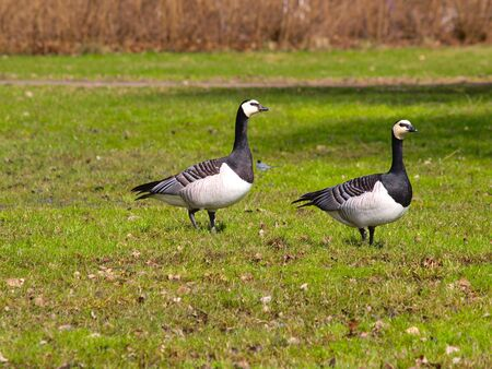 Couple of geese on a fresh grass field at spring