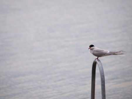 Artic tern sitting alone,, resting between hunting photo