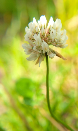 Closeup of a clover flower, in the wild, towards green photo