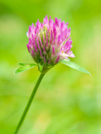 Closeup of pink clover flower, towards green photo