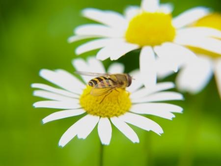 Bee feeding on daisy, closeup towards green photo