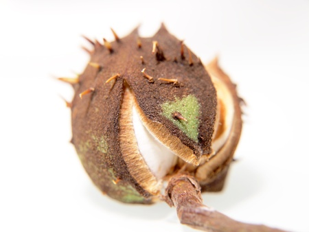Single chestnut unfolding, isolated towards white background photo