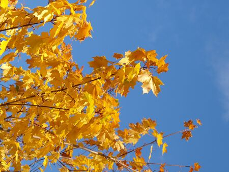 Yellow leaves on ash tree at autumn, towards blue sky Stock Photo