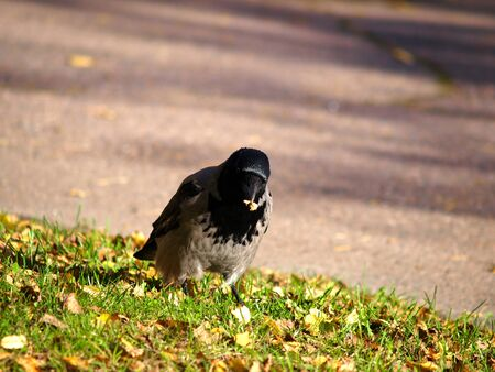 Crow gathering food in it photo
