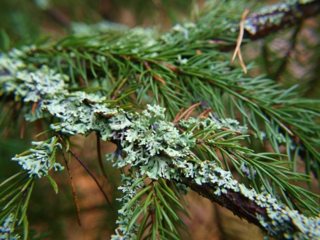 Closeup of lichen, moss,  on spruce tree