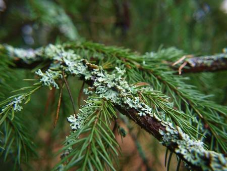 Closeup of lichen, moss,  on spruce tree Stock Photo - 16241864