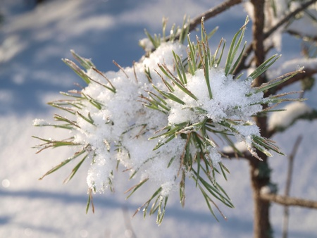 Snow in spruce tree, closeup with sunlight