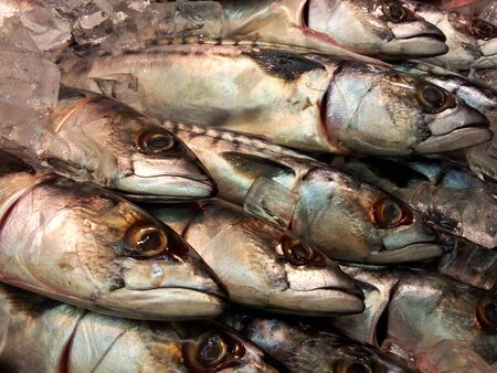 Fresh whole mackerel fish, side by side, in ice photo