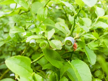 uncultivated: Uncultivated green blueberry, towards fresh green background