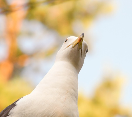 Seagull staring downwards with blue sky and autumn colors in background photo