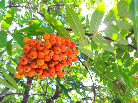 uncultivated: Rowan berries in a cluster, uncultivated towards green leaves