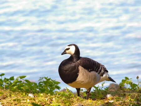 Single barnacle goose, standing in fresh green grass in front of shimmering blue sea photo