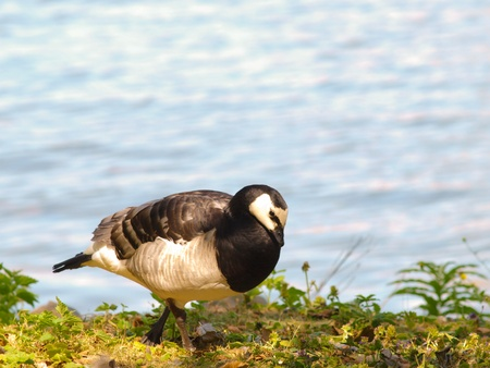 Single barnacle goose, walking in fresh green grass in front of shimmering blue sea photo