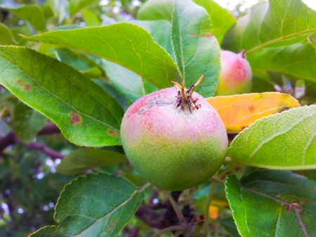 uncultivated: Uncultivated little red and green apple ripe on tree