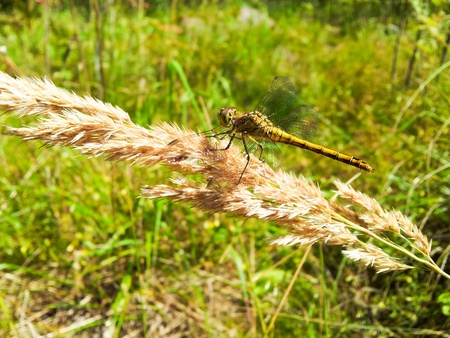 Yellow dragonfly resting on a brown straw towards green grass Stock Photo