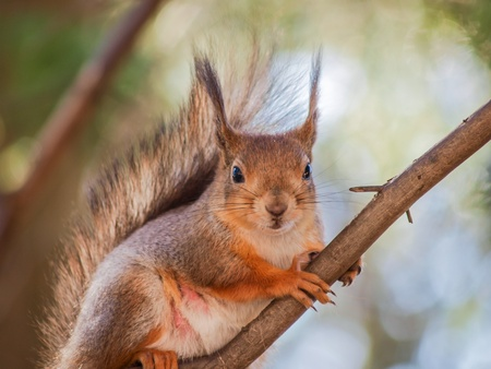 Squirrel sitting curiously on a branch up in a tree in a forest photo