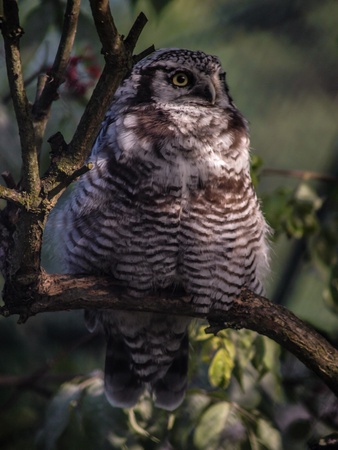 wildlife refuge: Hawk owl in a tree, waiting for it s food to pass by