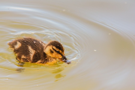A yellow duckling swimming around by itself in blue water Stock Photo