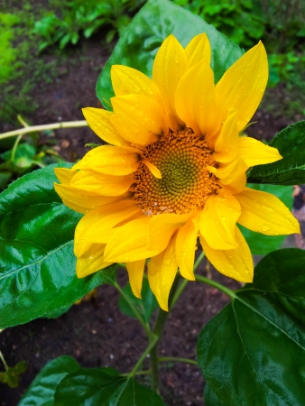 Wet sunflower with fresh yellow and green colors Stock Photo