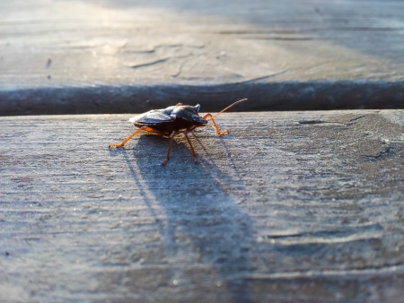 Hemiptera beetle, crossing a wooden table at sunset Stock Photo - 22251950