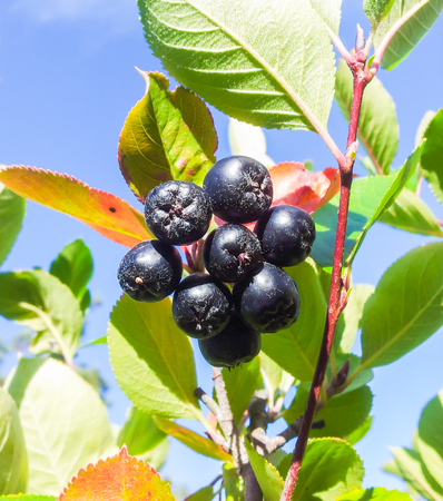 uncultivated: Closeup of uncultivated chokeberries towards blue sky