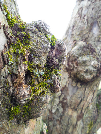 Closeup of burl on a grey oak tree with green moss, another burl in the background on trunk