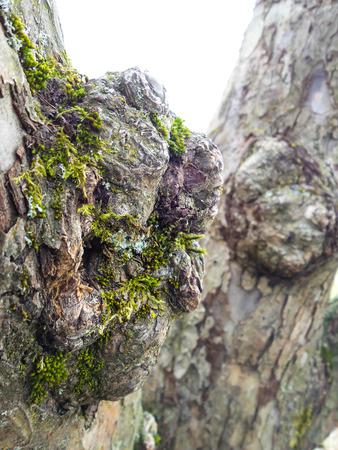 Nahaufnahme des Wurzel auf einem grauen Eiche mit grünen Moos, Wurzel anderen im Hintergrund auf Stamm