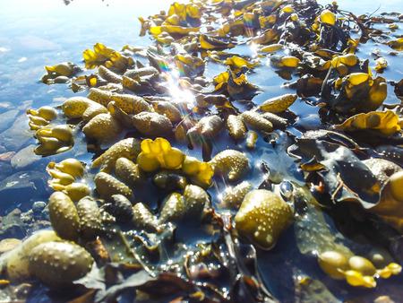 Dark green seaweed floating on water surface