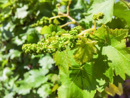Closeup of green grape flower at inflorescence