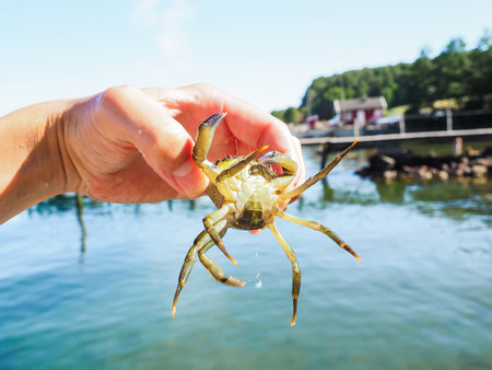 Person holding an alive crab in front of a beach and green water at summer photo