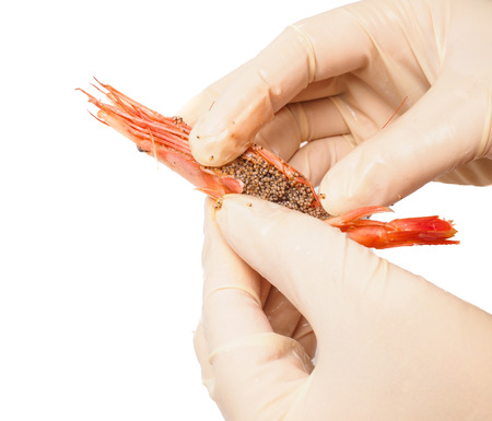 peeling rubber: Hands wearing rubber gloves peeling pink boiled shrimp isolated on white