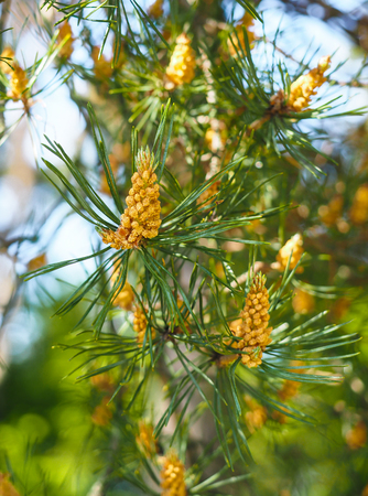 mugo: Evergreen pollination on fir tree at closeup in forest