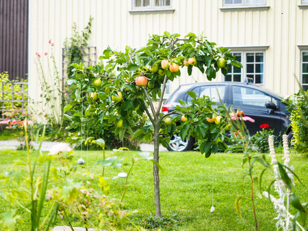 garden fresh: Small apple tree in front of beige house in garden, fresh green grass Stock Photo