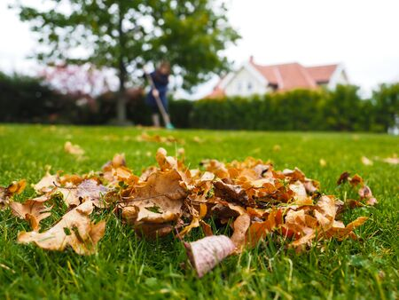 raking: Female person raking green grass from brown leaves at autumn in tall grey boots