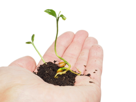 towards: Young plant sprouting from seed in soil, in hand isolated on white Stock Photo